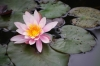 1425358_pink_water_lily