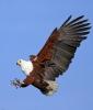 fish-eagle-4-1400983-s